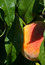 Stock Image : Peach