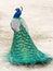 Stock Image : Peacock