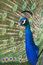 Stock Image : Peacock Portrait