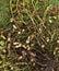 Stock Image : Peanut plant Arachis hypogaea