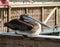 Stock Image : Pelícano de Brown en muelle