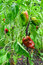 Stock Image : Peppers in the garden