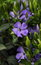 Stock Image : Periwinkle