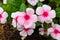 Stock Image : Periwinkle flowers