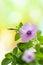 Stock Image : Petunia