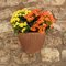 Stock Image : Petunias flowers in pot