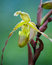 Stock Image : Phragmipedium longifolium