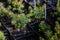 Stock Image : Picea glauca conica laurin