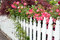 Stock Image : Picket fence with roses