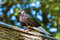 Stock Image : Pigeon