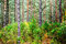 Stock Image : Pine forest