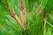 Stock Image : Pine tree