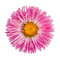 Stock Image : Pink aster
