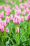 Stock Image : Pink beautiful tulips