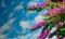 Stock Image : Pink Bougainvillea