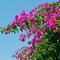 Stock Image : Pink bougainvilleas against the sky