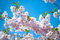 Stock Image : Pink cherry blossoms