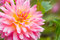 Stock Image : Pink Chrysanthemum flower