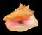 Stock Image : Pink conch sea shell