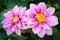 Stock Image : Pink Dahlia