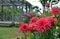 Stock Image : Pink dahlia flower garden