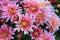 Stock Image : Pink Daisy