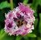 Stock Image : Pink Dutch Tulip