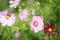 Stock Image : Pink flowers in bloom