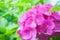 Stock Image : Pink Hortensia