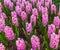 Stock Image : Pink Hyacinth Garden
