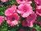 Stock Image : Pink lavatera flowers