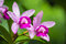 Stock Image : Pink Orchid on the green background
