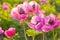 Stock Image : Pink peonies at sunset