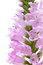 Stock Image : Pink Physostegia flower