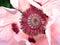 Stock Image : Pink poppy