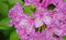 Stock Image : Pink rhododendron