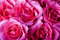 Stock Image : Pink roses.