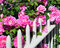 Stock Image : Pink Roses on Fence