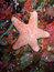 Stock Image : Pink starfish