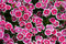 Stock Image : Pink sweet william flowers