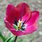 Stock Image : Pink tulip