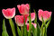 Stock Image : Pink Tulips