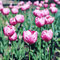 Stock Image : Pink tulips.