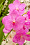 Stock Image : Pink vanda orchid
