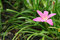 Stock Image : Pink zephyranthes lily flower in the garden