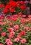 Stock Image : Pink Zinnias, beautiful garden.