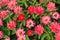 Stock Image : Pink Zinnias