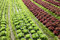 Stock Image :  Planta da alface em uma terra