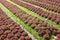 Stock Image :  Planta de la lechuga en tierras de labrantío
