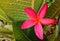 Stock Image : Plumeria flower